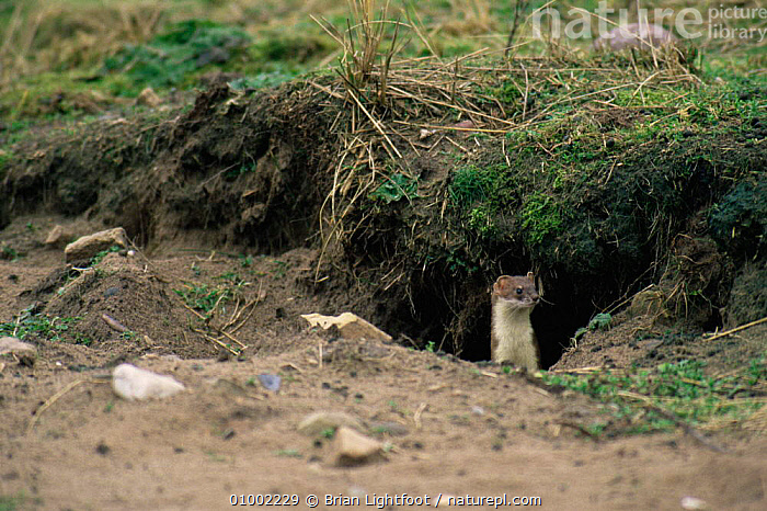 Stoat (Mustela erminea) stalking rabbit,  Scotland, CARNIVORES,MAMMALS,MUSTELIDS,PREDATION,SCOTLAND,UK,VERTEBRATES,WEASELS,Europe,United Kingdom,Behaviour,British, Brian Lightfoot