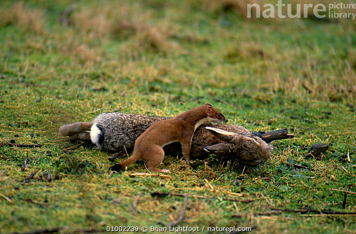 Stoat (Mustela erminea) carrying / pulling rabbit kill, Scotland, UK  ,  BEHAVIOUR,CARNIVORES,DEATH,MAMMALS,MUSTELIDS,PREDATION,SCOTLAND,SIZE DIFFERENCE,UK,VERTEBRATES,WEASELS,Europe,United Kingdom,British  ,  Brian Lightfoot