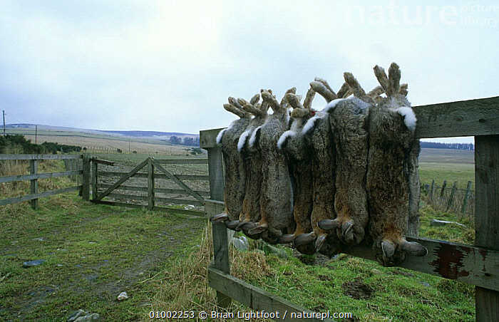 Dead rabbits {Oryctolagus cuniculus} hanging on fence post, shot by gamekeeper, Scotland., CONTROL,DEATH,EUROPE,FARMLAND,LAGOMORPHS,MAMMALS,PESTS,RABBITS,SCOTLAND,VERTEBRATES, Brian Lightfoot