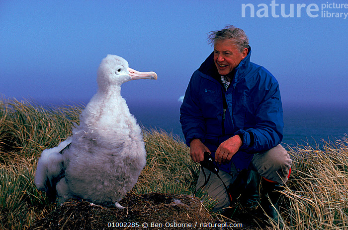 Sir David Attenborough with Wandering albatross (Diomedea exulans) chick, South Georgia. On location for 'Life in the Freezer' 1992., ALBATROSSES,ANTARCTICA,BABIES,BIRDS,CHICKS,FLUFFY,HORIZONTAL,NHU,PEOPLE,SEABIRDS, Ben Osborne