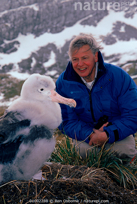 Sir David Attenborough with Wandering albatross (Diomedea exulans) chick, South Georgia, on location for 'Life in the Freezer' 1992  ,  ALBATROSSES,ANTARCTICA,BIRDS,CHICKS,FLUFFY,LARGE,NHU,PEOPLE,SEABIRDS,VERTICAL  ,  Ben Osborne