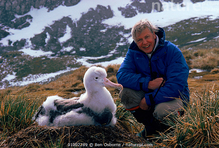 David Attenborough with Wandering albatross chick (Diomedea exulans), South Georgia, while on location for 'Life in the Freezer' 1992  ,  ALBATROSSES,ANTARCTICA,BIRDS,CHICKS,FLUFFY,HORIZONTAL,LARGE,NESTS,NHU,PEOPLE,SEABIRDS,SNOW  ,  Ben Osborne