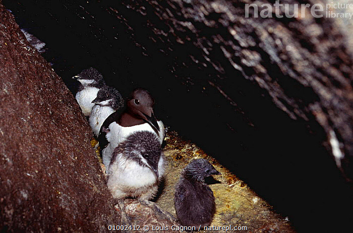Guillemot with chick - many pairs use same crack to nest in, Canada  ,  BABIES,COASTS,FAMILIES,SEABIRDS,AUKS,GUILLEMOTS,NESTING BEHAVIOUR,Reproduction, Seabirds  ,  Louis Gagnon