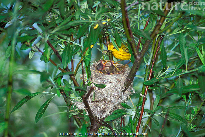 Yellow Warbler on nest with chicks. (Dendroica petechia) Wyoming, USA., BABIES, BIRDS, PARENTAL, CHICKS, FAMILIES, USA, VERTEBRATES, WARBLERS,North America, TOM MANGELSEN