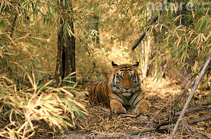 Male tiger called 'Bhacora' in Bandhavgarh National Park, India  ,  BANDHAVGARH,BHACORA,ENDANGERED,HORIZONTAL,INDIA,INDIAN SUBCONTINENT,KU,MALE,MAMMALS,NP,RESERVE,WOODLANDS,ASIA,NATIONAL PARK,TIGERS,BIG CATS  ,  E.A. KUTTAPAN