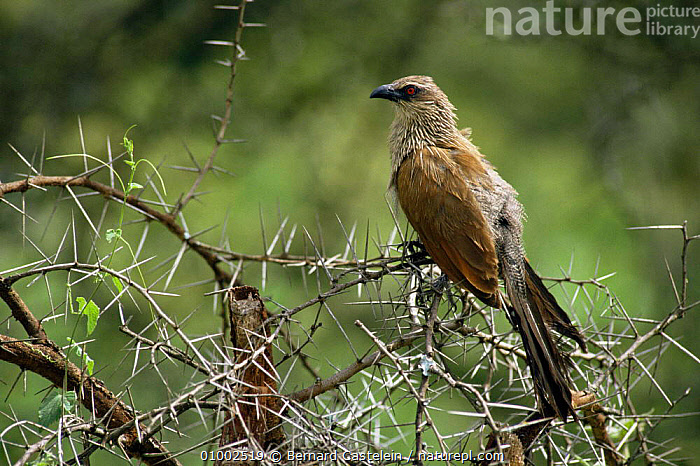 White-browed coucal {Centropus superciliosus} Lake Nakuru, Kenya  ,  ACACIA,BIRDS,CUCKOOS,EAST AFRICA,THORNS,VERTEBRATES,Africa  ,  Bernard Castelein
