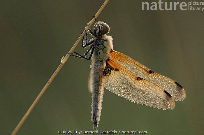 Four-spotted libellula (Libellula quadrimaculata) with dew on body and wings, Belgium  ,  ARTHROPODS,BELGIUM,DRAGONFLIES,EUROPE,INSECTS,INVERTEBRATES,ODONATA  ,  Bernard Castelein
