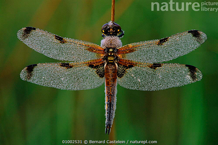 Four-spotted libellula dragonfly, Kalmthoutse Heide, Belgium, BC,BELGIUM,EUROPE,HEIDE,HORIZONTAL,INSECTS,KALMTHOUTSE,WINGS,INVERTEBRATES, Bernard Castelein