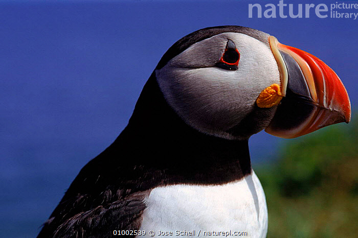 Atlantic Puffin, St.Mary's Island, Canada  ,  ATLANTIC,OCEAN,BIRDS,CANADA,COASTS,HORIZONTAL,JS,PORTRAITS,SEABIRDS,NORTH AMERICA,AUKS, Seabirds  ,  Jose Schell