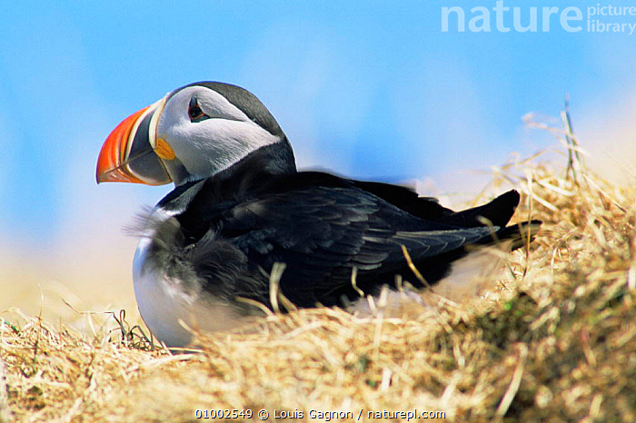 Atlantic Puffin (Fratercula arctica) on scrub grass, Canada  ,  AUKS,BIRDS,COASTS,NORTH AMERICA,PORTRAITS,PROFILE,SEABIRDS,VERTEBRATES, Seabirds  ,  Louis Gagnon