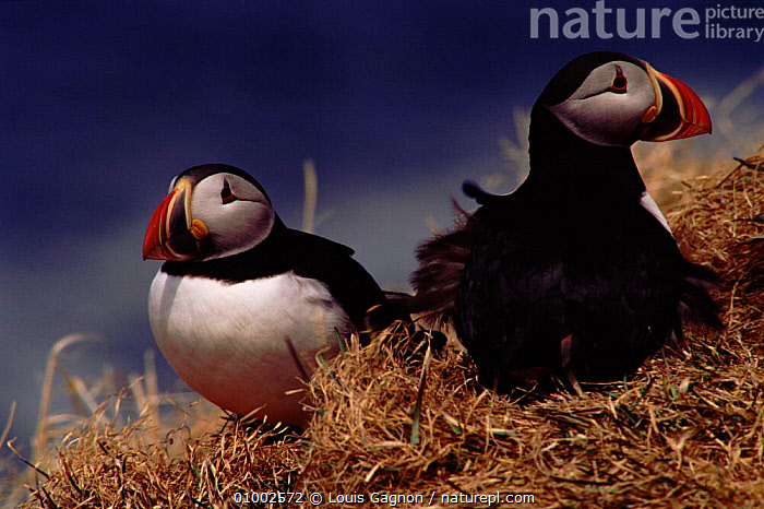 Atlantic Puffins in grass, Canada  ,  BIRDS,CANADA,COASTS,GRASS,HORIZONTAL,LG,SEABIRDS,TWO,NORTH AMERICA,PLANTS,AUKS, Seabirds  ,  Louis Gagnon
