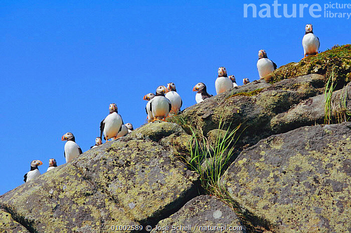 Atlantic puffins on rock outcrop. (Fratercula arctica) Canada  ,  ATLANTIC,AUK,BIRDS,COASTS,FLOCKS,OUTCROP,SEABIRDS,Auks, Seabirds  ,  Jose Schell