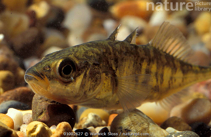 Three spined stickleback (Gasterosteus aculeatus) captive, FISH,FRESHWATER,SCOTLAND,STICKLEBACKS,EUROPE, Warwick Sloss