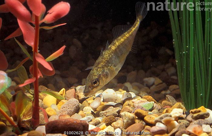 Three spined stickleback (Gasterosteus aculeatus) captive, ENGLAND,EUROPE,FISH,FRESHWATER,SCOTLAND,STICKLEBACKS,UK,UNITED KINGDOM,BRITISH, Warwick Sloss