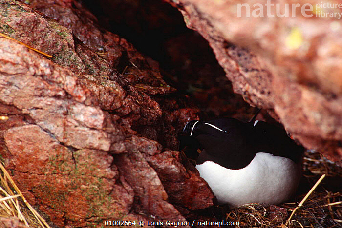 Razorbill adult in nest crack (Alca torda) Canada  ,  AUKS,BIRDS,CANADA,COASTS,NESTS,NORTH AMERICA,SEABIRDS,VERTEBRATES  ,  Louis Gagnon