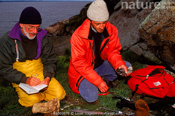 Biologists banding razorbill chicks, Canada, BIRDS,CANADA,CHICKS,CONSERVATION,LG,PEOPLE,RESEARCH,SEABIRDS,TORDA,NORTH AMERICA, Louis Gagnon