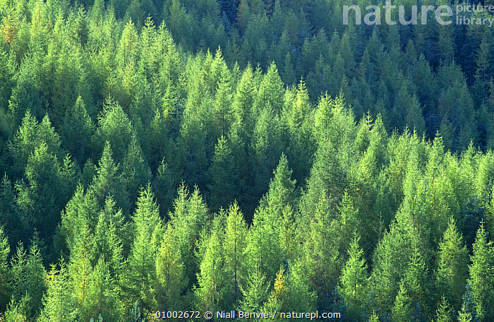 European larch woodland (Larix decidua) Inverness, Scotland  ,  CONIFERS,EUROPE,GYMNOSPERMS,PLANTATIONS,PLANTS,SCOTLAND,SUMMER,TAXACEAE,TREES  ,  Niall Benvie