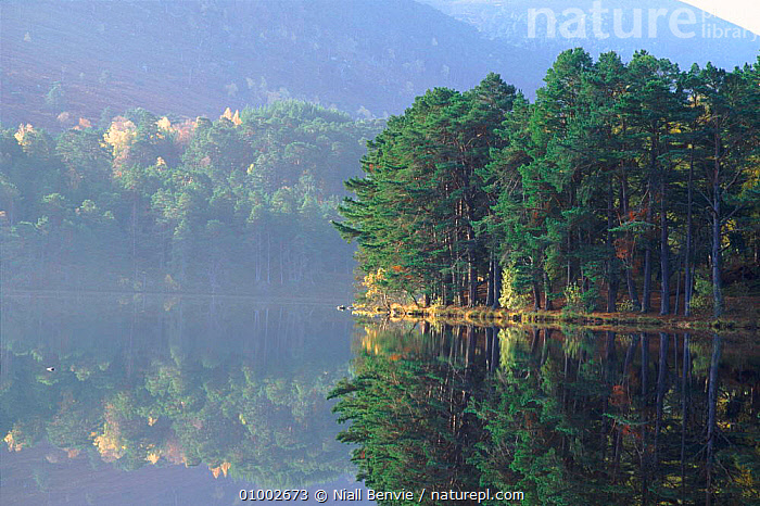 Scots pine trees by lake, Rothiemurchus, Aviemore, Scotland  ,  AVIEMORE,CONIFEROUS,EUROPE,HORIZONTAL,LAKE,LANDSCAPES,NB,REFLECTIONS,ROTHIEMURCHUS,SCOTLAND,TREES,UK,WATER,WOODLAND,UNITED KINGDOM,PLANTS,BRITISH  ,  Niall Benvie