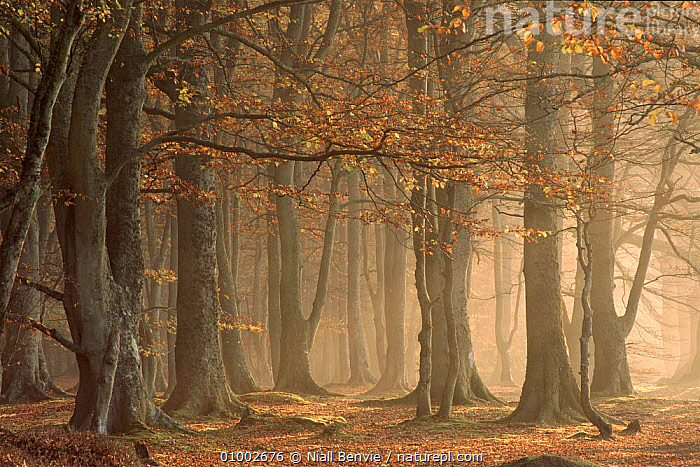 European beechwood, Arbroath, Angus, Scotland  ,  ANGUS,AUTUMN,BEECH,BROADLEAF,EUROPE,HORIZONTAL,NB,SCOTLAND,TREES,UK,WOODLANDS,UNITED KINGDOM,PLANTS,BRITISH, United Kingdom, United Kingdom, United Kingdom,Catalogue1  ,  Niall Benvie