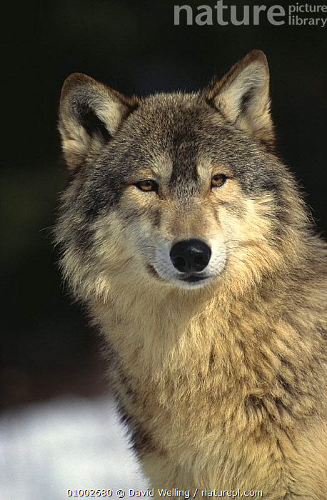 Grey Wolf (Canis lupus) portrait, captive, Montana, USA  ,  CANIDS,CARNIVORES,MAMMALS,NORTH AMERICA,PORTRAITS,PUBLICITY,USA,VERTEBRATES,VERTICAL,WOLVES,Dogs  ,  David Welling