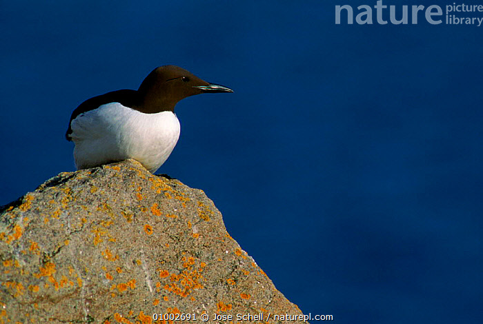 Guillemot perched on rock. Canada, BIRDS,CANADA,COASTS,HORIZONTAL,JS,ROCK,SEABIRDS,NORTH AMERICA,AUKS, Seabirds, Jose Schell