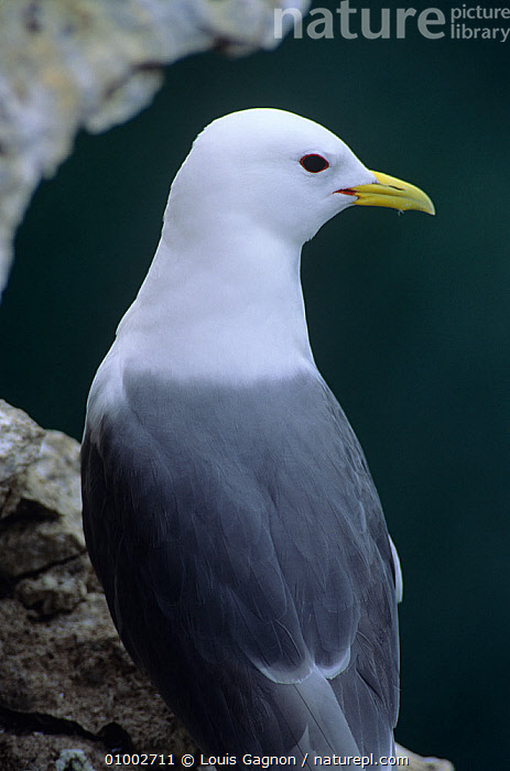 Kittiwake (Rissa tridactyla) perched on cliff, Canada, BIRDS,CANADA,COASTS,GULLS,PERCH,PORTRAITS,SEABIRDS,VERTEBRATES,VERTICAL,North America, Louis Gagnon