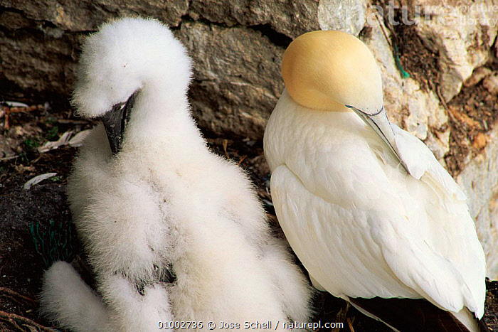 Gannet (Morus bassanus) adult at nest with young, grooming. Canada (Morus bassanus), BIRDS, BOOBIES, CANADA, CLIFFS, COASTS, FAMILIES, FEATHERS, GANNETS, GEOLOGY, GROOMING, HORIZONTAL, JUVENILE, SEABIRDS, VERTEBRATES,North America, Jose Schell