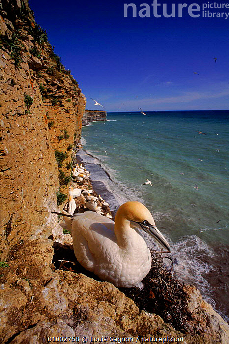 Gannet (Morus bassanus) nesting. Canada, BIRDS, BOOBIES, CANADA, CLIFFS, COASTS, GANNETS, GEOLOGY, LANDSCAPES, REPRODUCTION, SEABIRDS, VERTEBRATES, VERTICAL,North America, Louis Gagnon