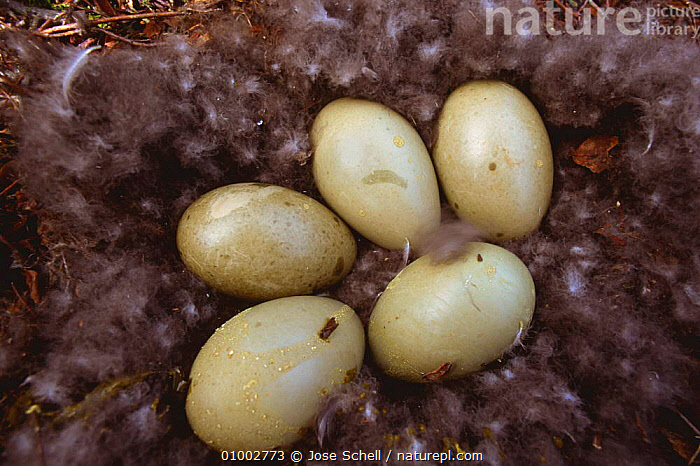 Eider eggs in down nest (Somateria mollissima) Canada  ,  BIRDS,CANADA,COASTS,DUCKS,EGGS,LAKES,NORTH AMERICA,TUNDRA,VERTEBRATES,WATERFOWL  ,  Jose Schell