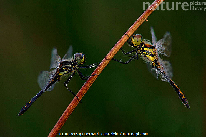 Yellow winged darters (dragonflies) on reed stem, Belgium, BC,BELGIUM,EUROPE,HORIZONTAL,INSECTS,INVERTEBRATES,LAKES,ODONATA,REED,RIVERS,TWO,WETLANDS, Bernard Castelein