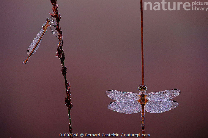 Yellow winged darter dragonfly resting on reed stem (right). Note damselfy to left with wings characteristically folded over body, BC,BELGIUM,DAMSELFLY,EUROPE,FLAVEOLUM,HORIZONTAL,INSECTS,,MIXED SPECIES*,REED,,STEM,WINGS ,RIVERS ,LAKES,INVERTEBRATES,ODONATA, Bernard Castelein