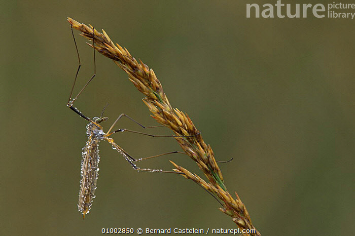 Daddy long legs / Cranefly (Tipula oleracea) covered in dew, Belgium, BELGIUM,CRANEFLIES,CRANE FLIES,DEW,DIPTERA,DROPS,EUROPE,FLIES,INSECTS,INVERTEBRATES,WATER, Bernard Castelein