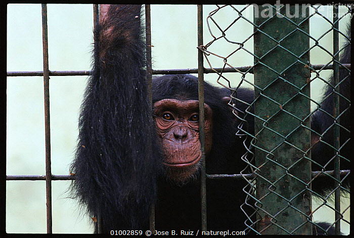 Chimpanzee in cage, Spain (Pan troglodytes)  ,  APES,CAGE,CAPTIVE,CONCEPTS,CRUELTY,EUROPE,GREAT,GREAT APES,MAMMALS,PRIMATES,RR,SAD,SPAIN  ,  Jose B. Ruiz