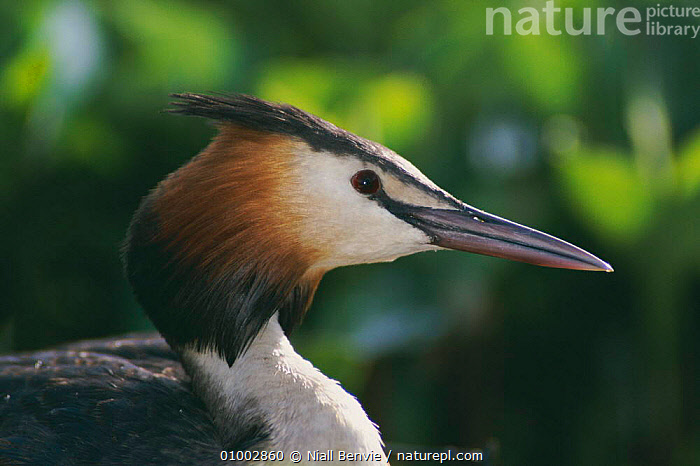 Great Crested Grebe head portrait, Scotland (Podiceps cristatus)  ,  BEAKS,BIRDS,BRITISH,NB,ONE,PROFILE,SCOTLAND,UK,WATERFOWL,WILDLIFE,EUROPE,UNITED KINGDOM  ,  Niall Benvie