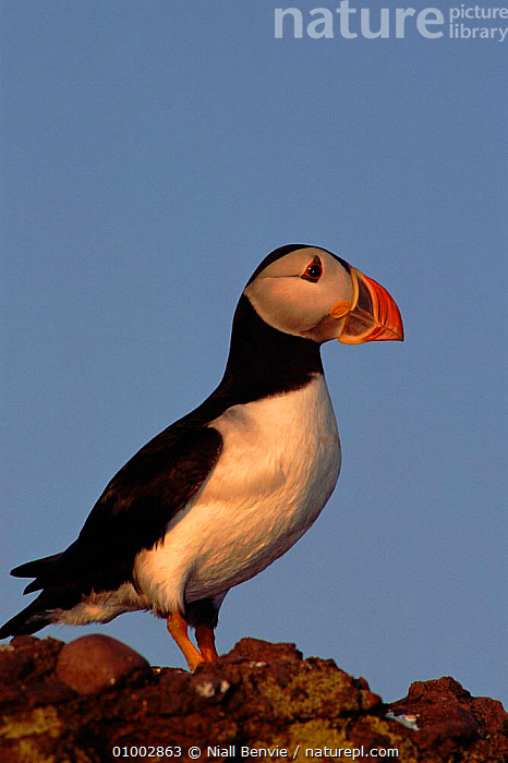 Atlantic puffin on rock, Scotland  ,  COASTS,NB,PORTRAITS,PROFILE,SCOTLAND,SEABIRDS,VERTICAL,EUROPE,AUKS, Seabirds  ,  Niall Benvie