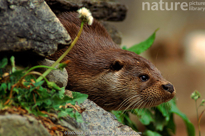 European river otter. Scotland. Captive animal.  ,  CAPTIVE,CUTE,EUROPE,HORIZONTAL,MAMMALS,NB,SCOTLAND,UK,UNITED KINGDOM,BRITISH,MUSTELIDS  ,  Niall Benvie