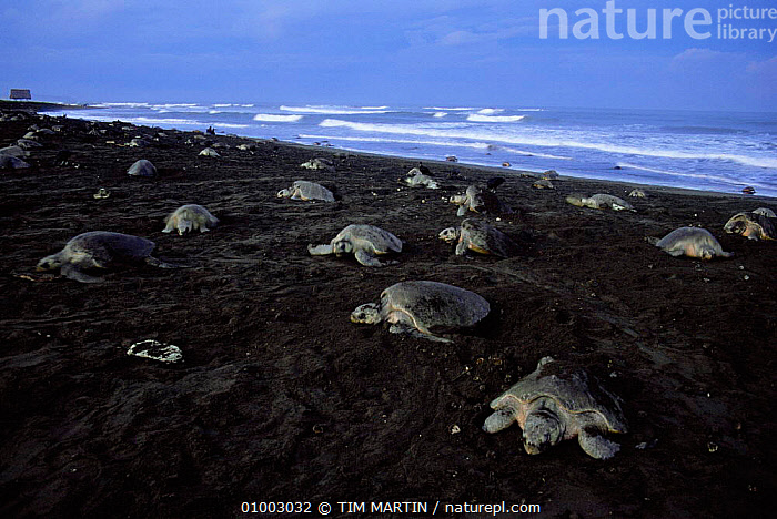 Olive Ridley Turtles (Lepidochelys olivacea) coming onto beach to lay eggs, Costa Rica.  ,  BEACHES,BEHAVIOUR,CENTRAL AMERICA,FEMALES,GROUPS,NIGHT,PACIFIC,REPRODUCTION,REPTILES,TIM,TROPICAL,CHELONIA, TURTLES  ,  TIM MARTIN