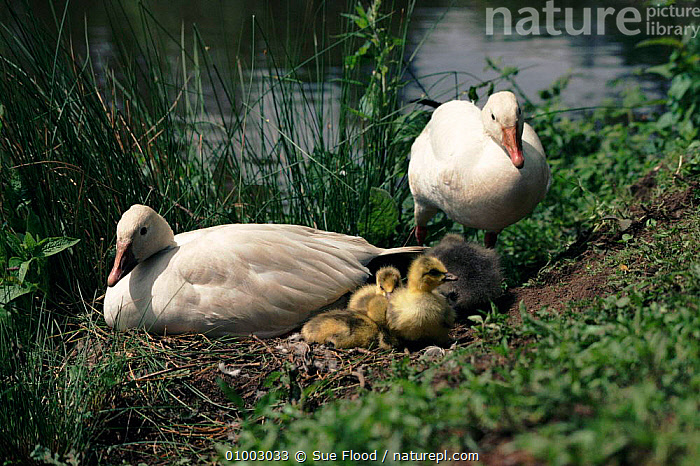Snow Geese with chicks  ,  , BIRDS, GEESE, goose, REPRODUCTION, VERTEBRATES, WATERFOWL  ,  Sue Flood