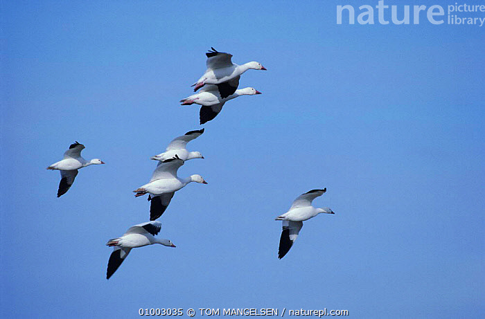 Snow Geese in flight. New Mexico (Chen caerulescens) USA  ,  BIRDS, FLYING, GEESE, goose, SKY, TUNDRA, VERTEBRATES, WATERFOWL  ,  TOM MANGELSEN