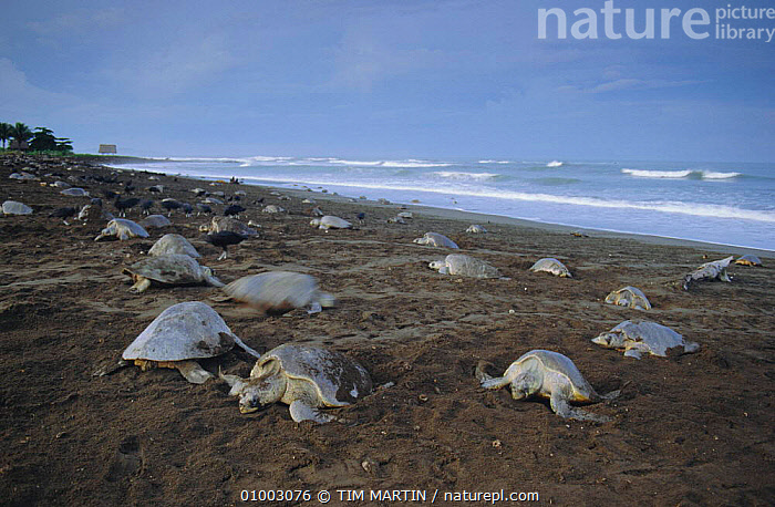 Olive Ridley turtles on nesting beach, Costa Rica - Vultures look for eggs to eat., BEACHES,CENTRAL AMERICA,EAT,HIGH SEAS,LANDSCAPES,LOOKING,MARINE,REPTILES,Chelonia, Turtles, TIM MARTIN
