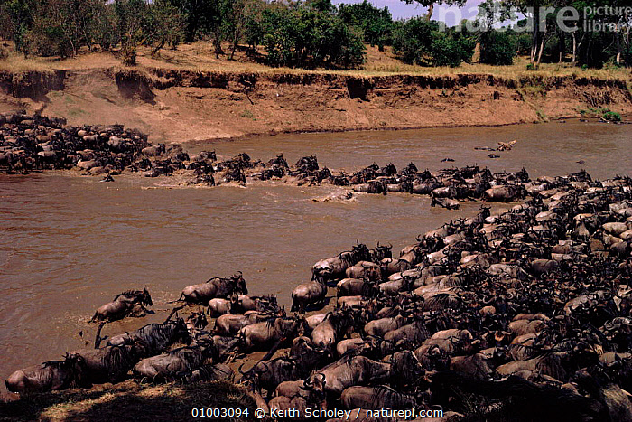 Wildebeest herd (Connochaetes taurinus) crossing Mara river. Masai Mara NP, Kenya, East Africa  ,  ARTIODACTYLA,EAST AFRICA,GROUPS,HERD,HORIZONTAL,KENYA,MAMMALS,MARA,MASAI,MIGRATION,NP,RESERVE,RIVERS,RUNNING,SAVANNA,SWIMMING,AFRICA,GRASSLAND,NATIONAL PARK,ANTELOPES  ,  Keith Scholey