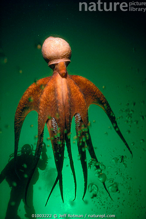 Giant Pacific octopus (Octopus dolfeini) jets away. British Columbia Model released., CANADA, CEPHALOPODS, INVERTEBRATES, MARINE, MOLLUSCS, OCTOPUS, outstanding, PEOPLE, SWIMMING, TEMPERATE,North America, Jeff Rotman