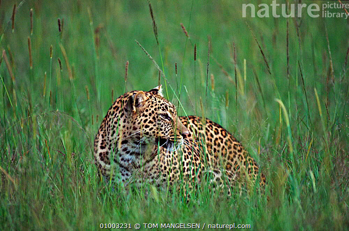 Leopard in tall grass, Kenya (Panthera pardus)  ,  MAMMALS,CARNIVORES,EAST AFRICA,BIG CATS,AFRICA,LEOPARDS  ,  TOM MANGELSEN