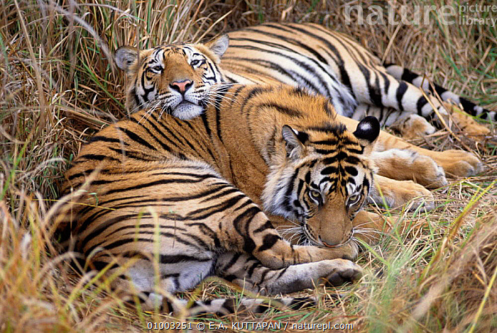Bengal Tiger cubs resting. Bandhavgarh NP. (Panthera tigris) India  ,  TWO,NP,MAMMALS,CARNIVORES,CATS,ENDANGERED,JUVENILE,INDIAN SUBCONTINENT,FRIENDSHIP,Asia,Concepts,National Park,Tigers,Big Cats  ,  E.A. KUTTAPAN