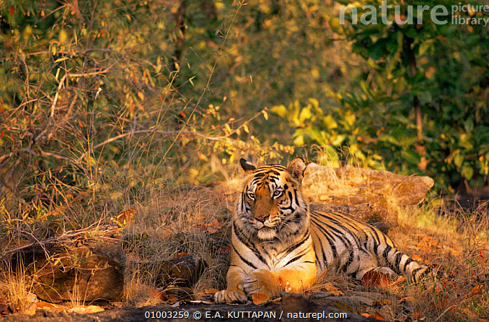 Tiger resting in woodland clearing (Panthera tigris) Bandhavgarh NP, India  ,  BIG CATS,CARNIVORES,CATS,ENDANGERED,INDIAN SUBCONTINENT,MAMMALS,NP,TIGERS,National Park,Big Cats,Asia  ,  E.A. KUTTAPAN