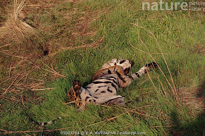 Tiger lying on its back in grass, Bandhavgarh NP, India  ,  BANDHAVGARH,CARNIVORES,CATS,CUTE,ENDANGERED,GRASS,HORIZONTAL,INDIAN SUBCONTINENT,INIDIA,KU,MAMMALS,NP,SLEEPING,ASIA,PLANTS,NATIONAL PARK,TIGERS,BIG CATS  ,  E.A. KUTTAPAN