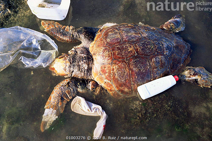 Dead Loggerhead turtle on shore (Caretta caretta) Spain, CHELONIA,DEATH,ENDANGERED,MARINE,MEDITERRANEAN,POLLUTION,REPTILES,SPAIN,TURTLES,Europe, Turtles, Turtles, Turtles, Turtles, Turtles, Turtles, Jose B. Ruiz