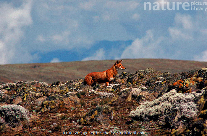 Simien Jackal (Ethiopian wolf) endemic, Ethiopia. Only about 300 of these dogs survive in the wild  ,  AFRICA,EAST AFRICA,ENDANGERED,ENDEMIC,ETHIOPIA,ETHIOPIAN,HIGHLANDS,HORIZONTAL,KS,LANDSCAPES,MAMMALS,WOLF  ,  Keith Scholey
