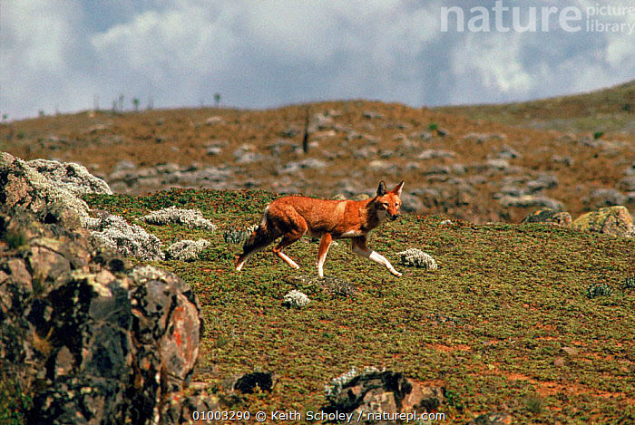 Simien Jackal (Ethiopian wolf) endemic, Ethiopia. Only about 300 of these dogs are left in the wild  ,  300,44081831,AFRICA,ARE,DOGS,EAST AFRICA,ENDANGERED,ENDEMIC,ETHIOPIA,JACKAL,KS,LANDSCAPES,LEFT,MAMMALS,ONLY,THESE,WILD  ,  Keith Scholey