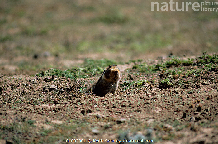 Giant Mole Rat {Tachyoryctes macrocephalus} endemic species found only on Bali Mountains, Ethiopia. Important food source for Simien jackal (Ethiopian wolf)., EAST AFRICA,ENDEMIC,HABITAT,MAMMALS,RATS,rodents,VERTEBRATES, Keith Scholey